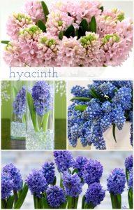 Floral Friday ~ Hyacinth