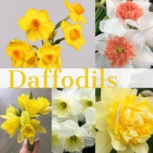 Floral Friday ~ Daffodils