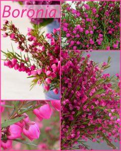 Floral Friday ~ Boronia