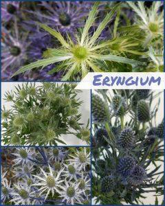 Floral Friday ~ Eryngium