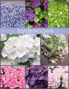 Floral Friday ~ Hydrangea