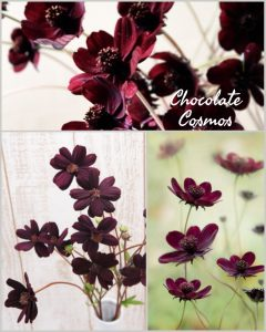 Floral Friday ~ Chocolate Cosmos