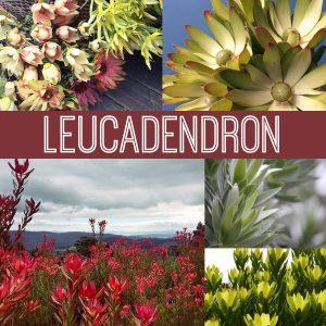 Floral Friday - Leucadendron