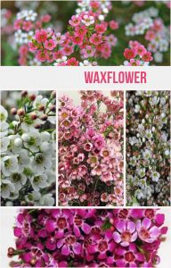 Floral Friday ~ Waxflower