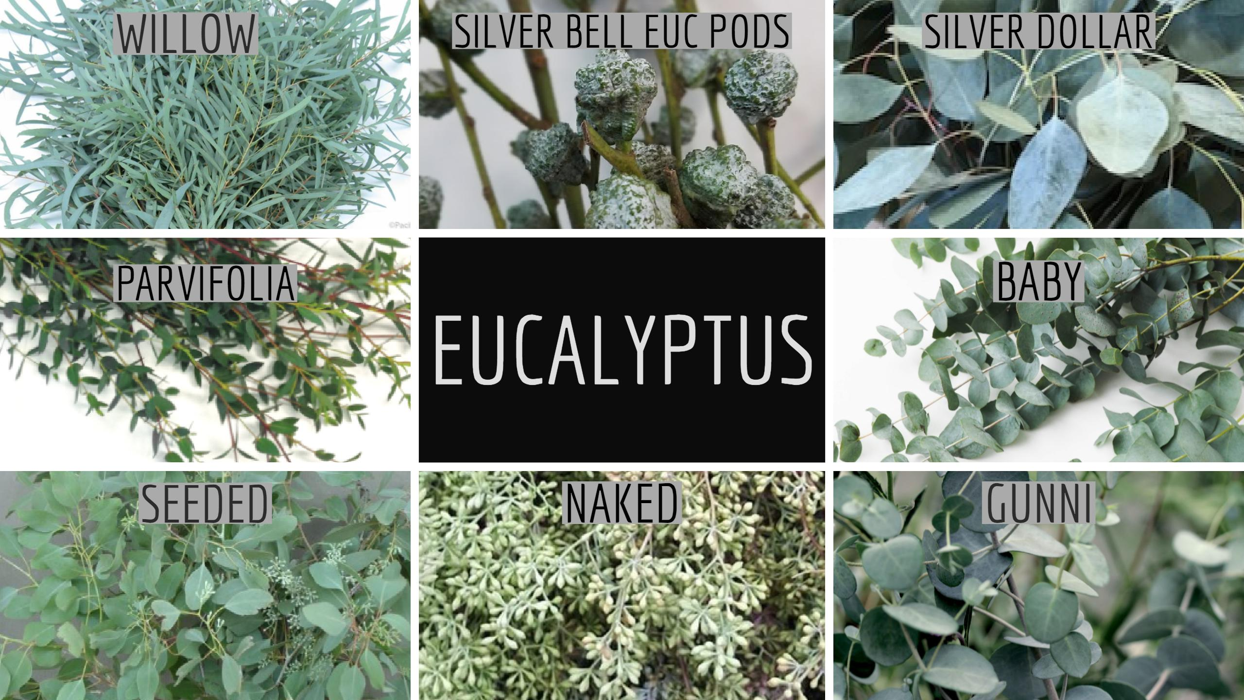 Floral Friday Eucalyptus Dreisbach Wholesale Florists