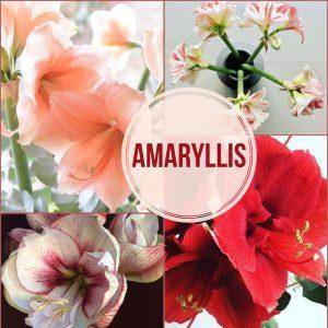 Floral Friday ~ Amaryllis