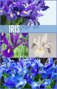 Floral Friday ~ Iris
