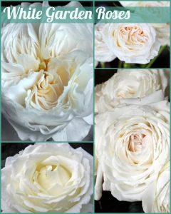Floral Friday ~ White Garden Roses