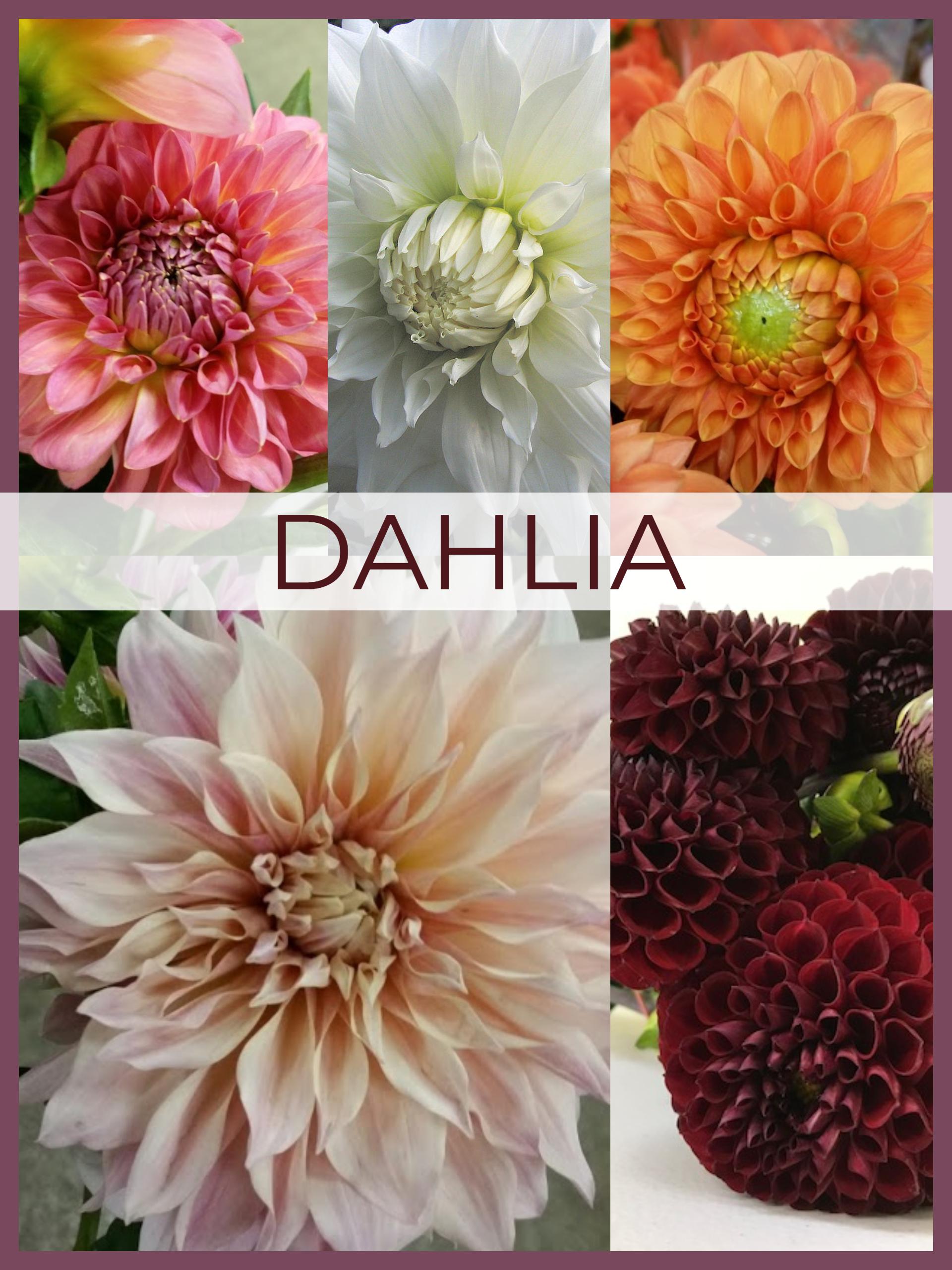 Floral Friday Dahlia Dreisbach Wholesale Florists