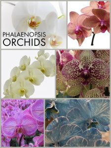 Floral Friday ~ Phalaenopsis Orchids