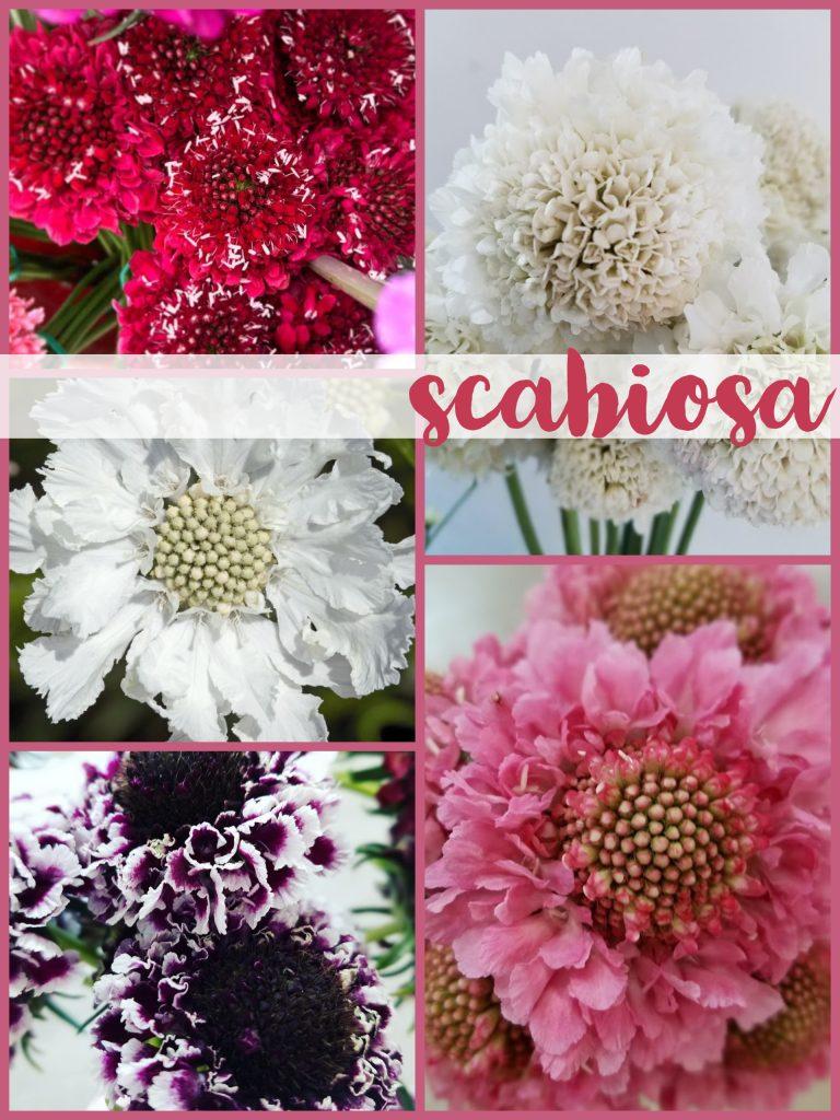 Floral Friday Scabiosa Dreisbach Wholesale Florists