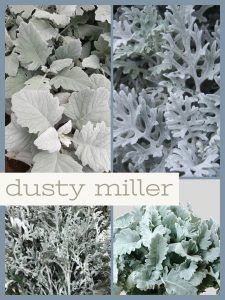 Floral Friday ~ Dusty Miller