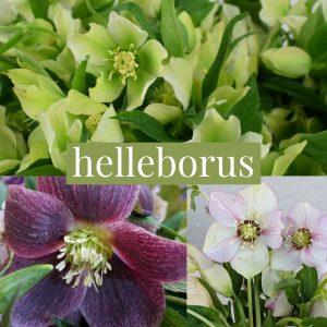 Floral Friday ~ Helleborus
