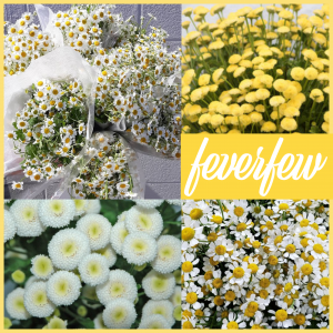 Floral Friday ~ Feverfew