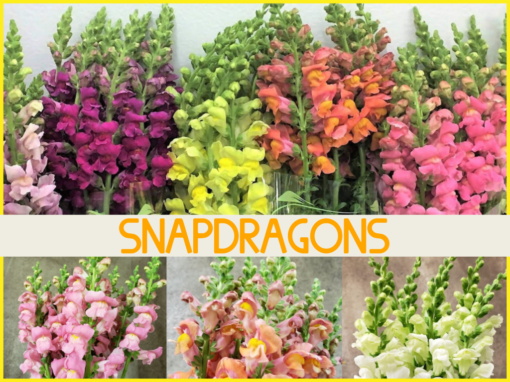 Dreisbach Floral Friday - Snapdragons