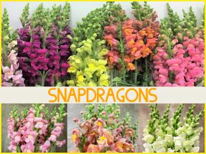 Dreisbach Floral Friday - Snapdragons