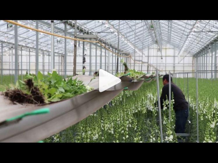 Rosaflora Snapdragon Harvesting