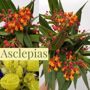 Floral Friday ~ Asclepias