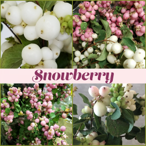 Floral Friday ~ Snowberry