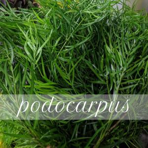 Floral Friday ~ Podocarpus