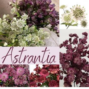 Floral Friday ~ Astrantia
