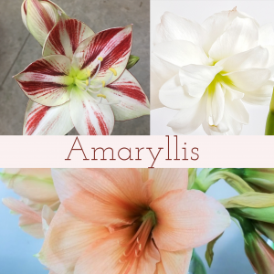 Floral Friday ~ Amaryllis