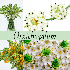 Floral Friday ~ Ornithogalum